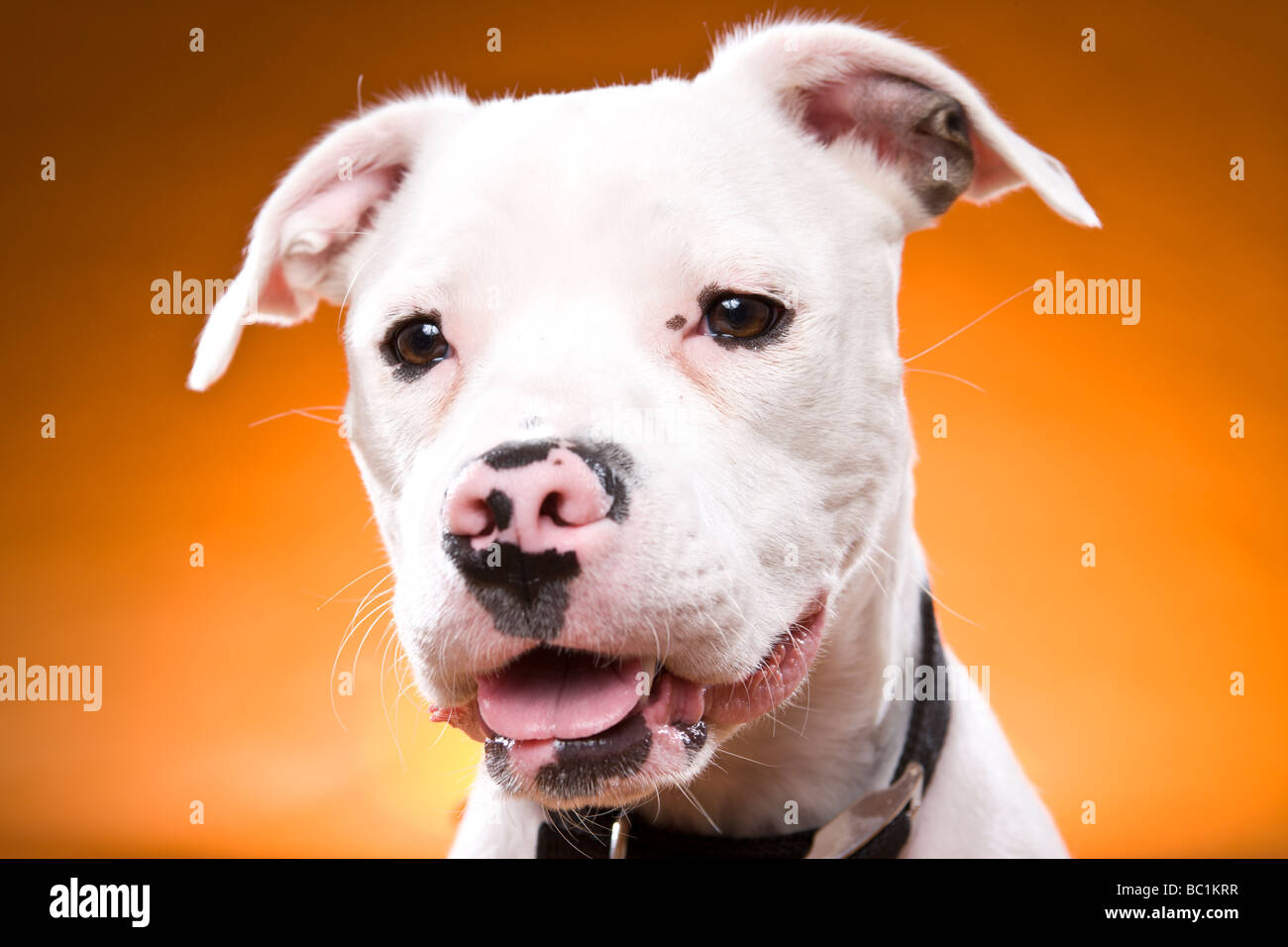A Staffordshire Bull Terrier in the studio against a blue green background. - Stock Image