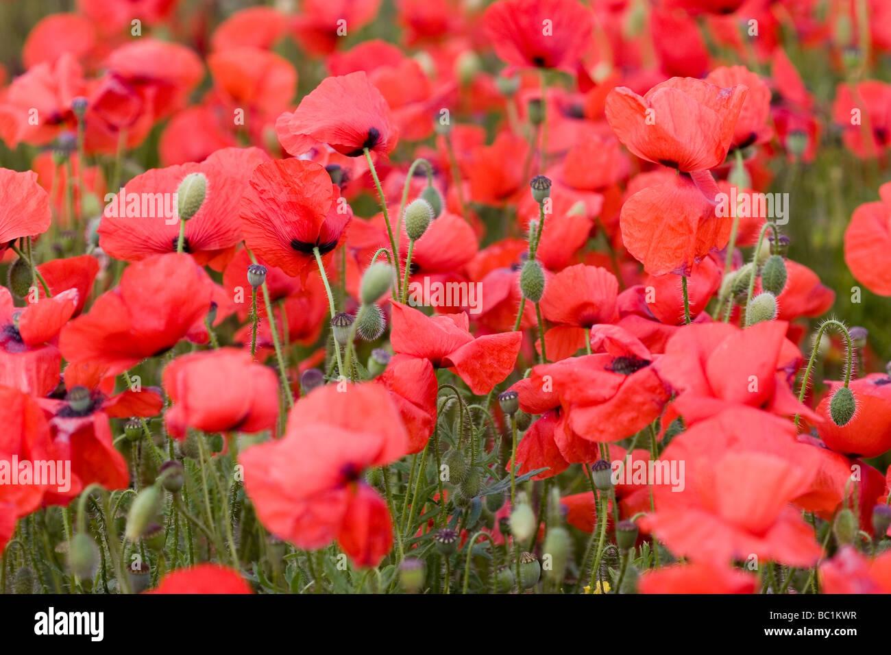 Poppy buds amongst a poppy field Kent Stock Photo