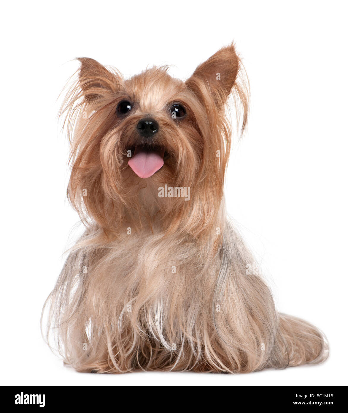 Yorkshire Terrier panting 3 years old in front of a white background - Stock Image