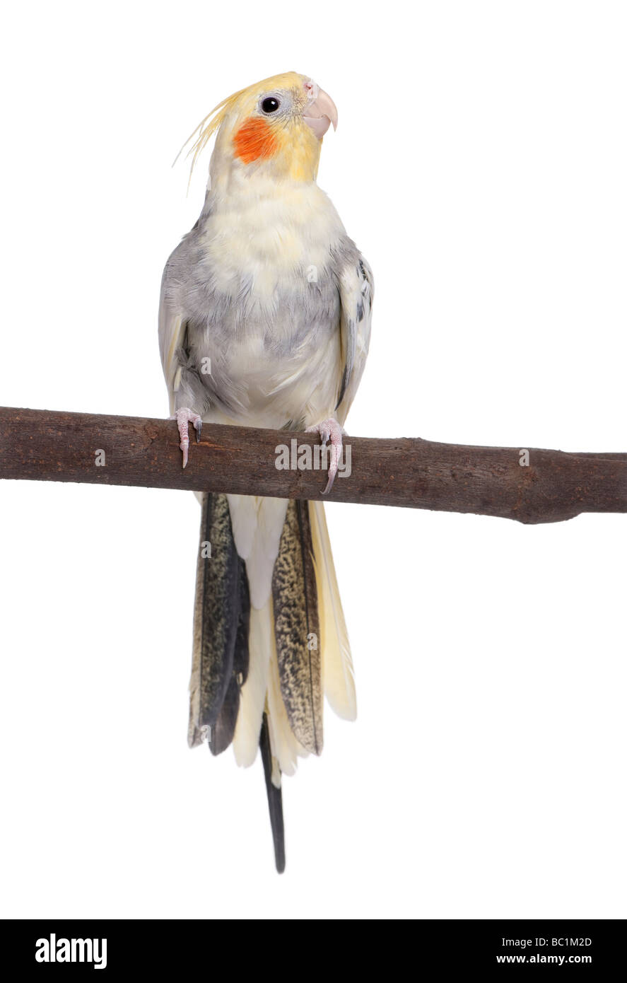 Cockatiel perching on a branch Nymphicus hollandicus in front of a white background - Stock Image