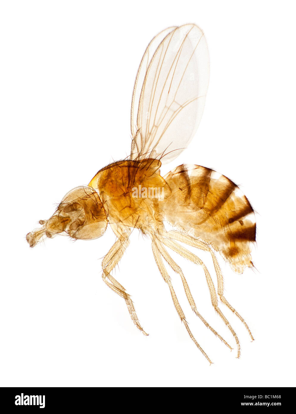 The White Eyed Drosophila Vinegar Fly or Fruit fly, brightfield photomicrograph - Stock Image