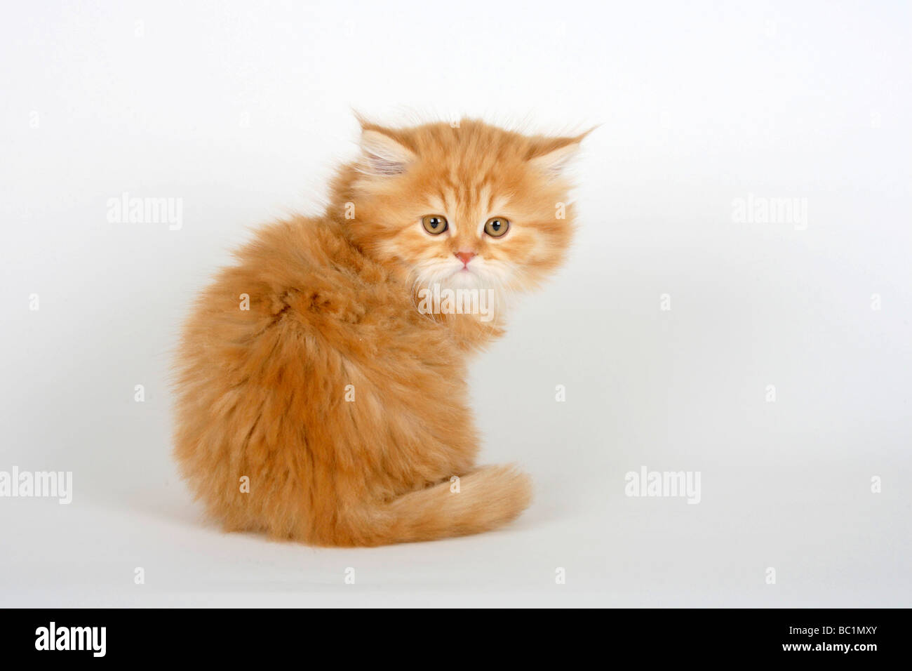 British Longhair Cat Kitten 8 Weeks Red Tabby Highlander Lowlander