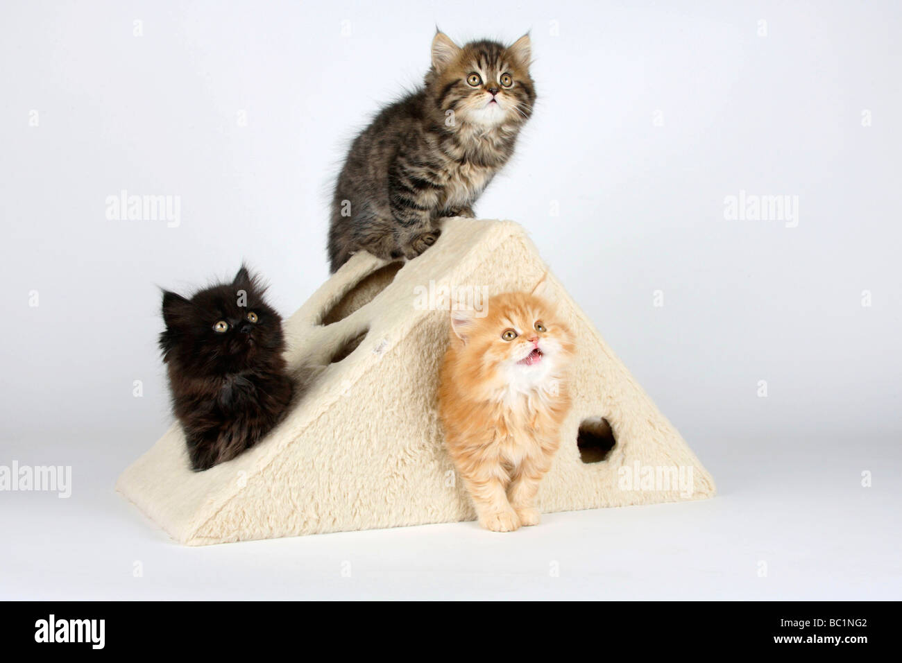 British Longhair Cat kittens 8 weeks Highlander Stock Photo