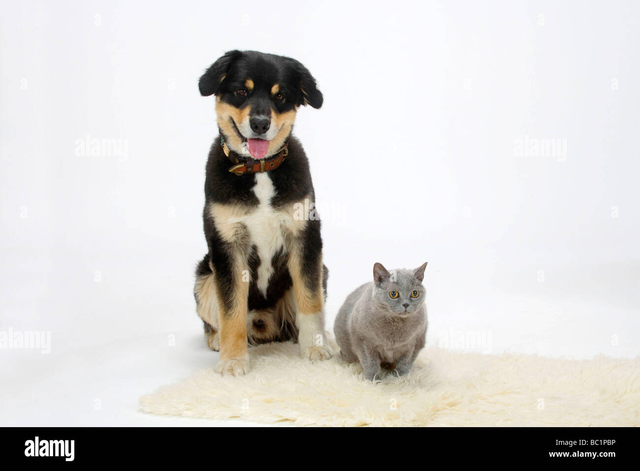 Australian Shepherd tricolor and British Shorthair Cat blue