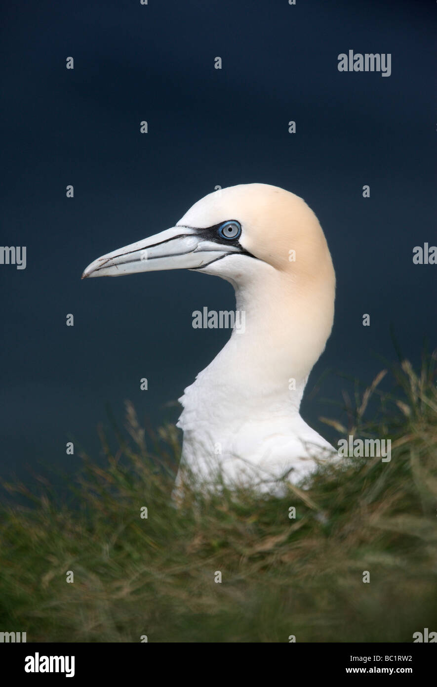 Gannet Sula bassana Troup Head Scotland - Stock Image