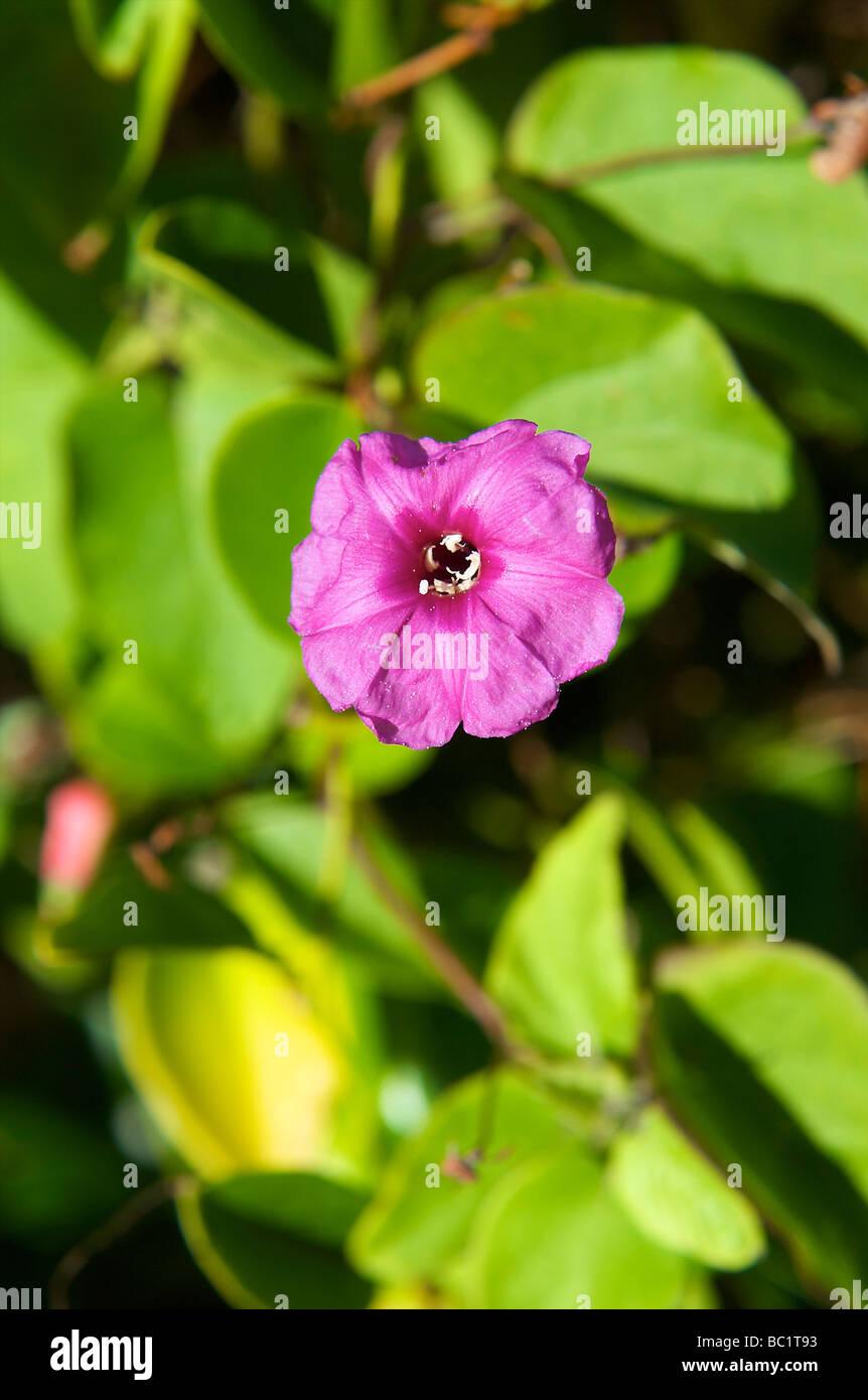Sint Eustatius national flower morning glory - Stock Image