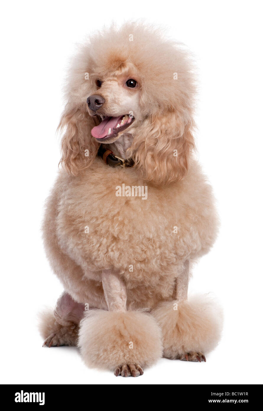 groomed apricot poodle 2 years old in front of a white background - Stock Image