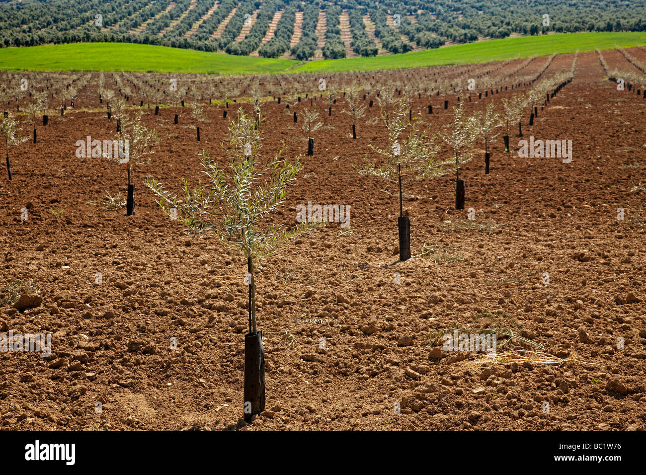 high density Olive grove in the region of Antequera Malaga Andalusia Spain - Stock Image