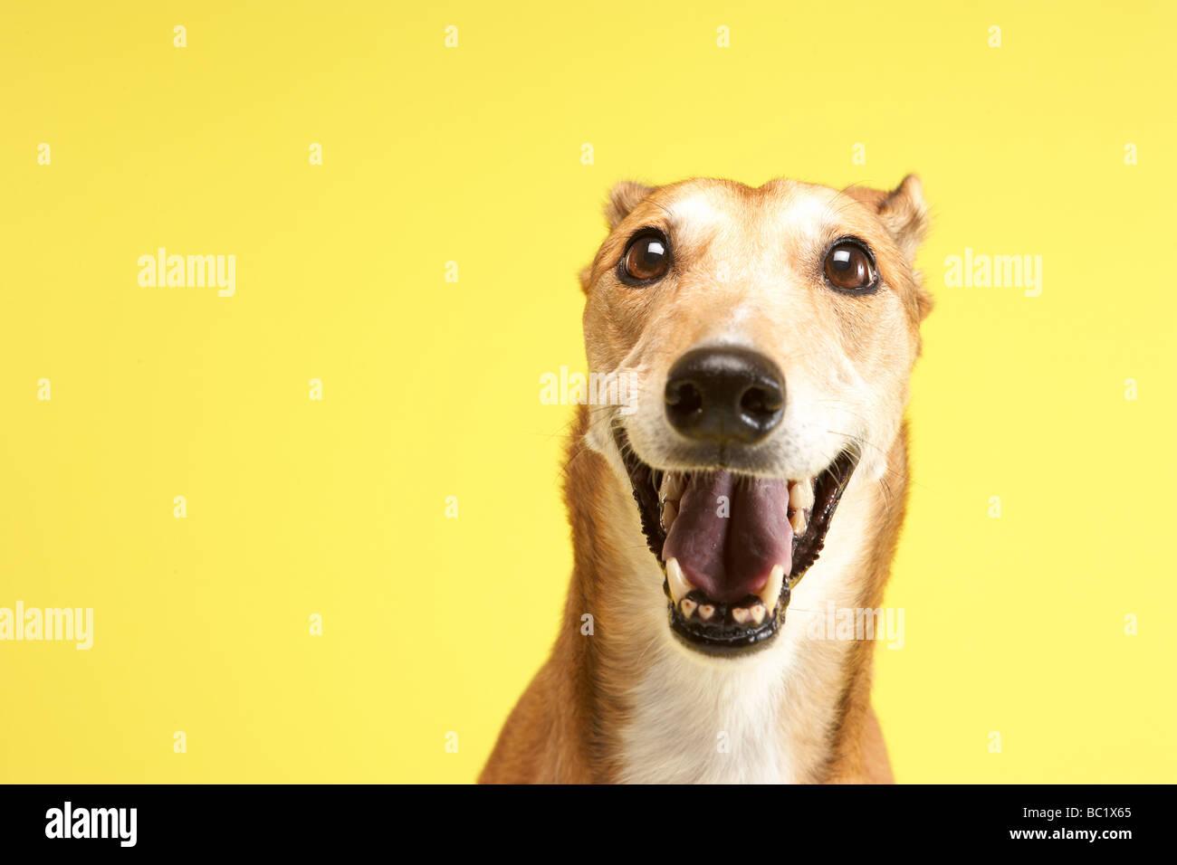Portrait Of Pet Greyhound - Stock Image