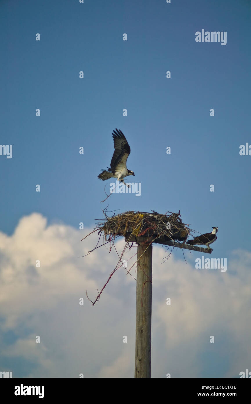 Adult osprey (Pandion haliaetus) brings nesting material to a nest built on a platform while mate watches - Stock Image
