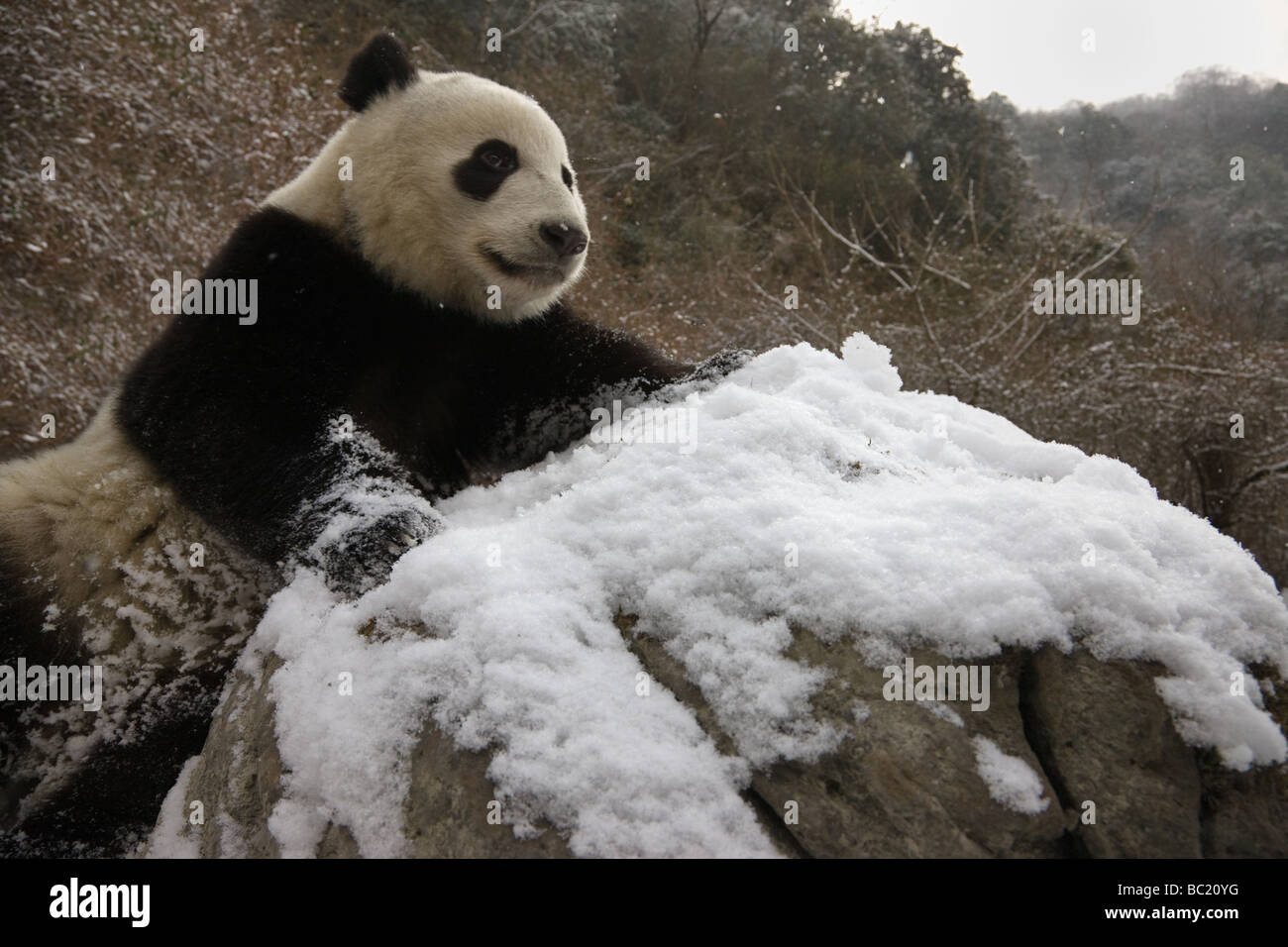 Giant panda on snow Wolong Sichuan China Stock Photo