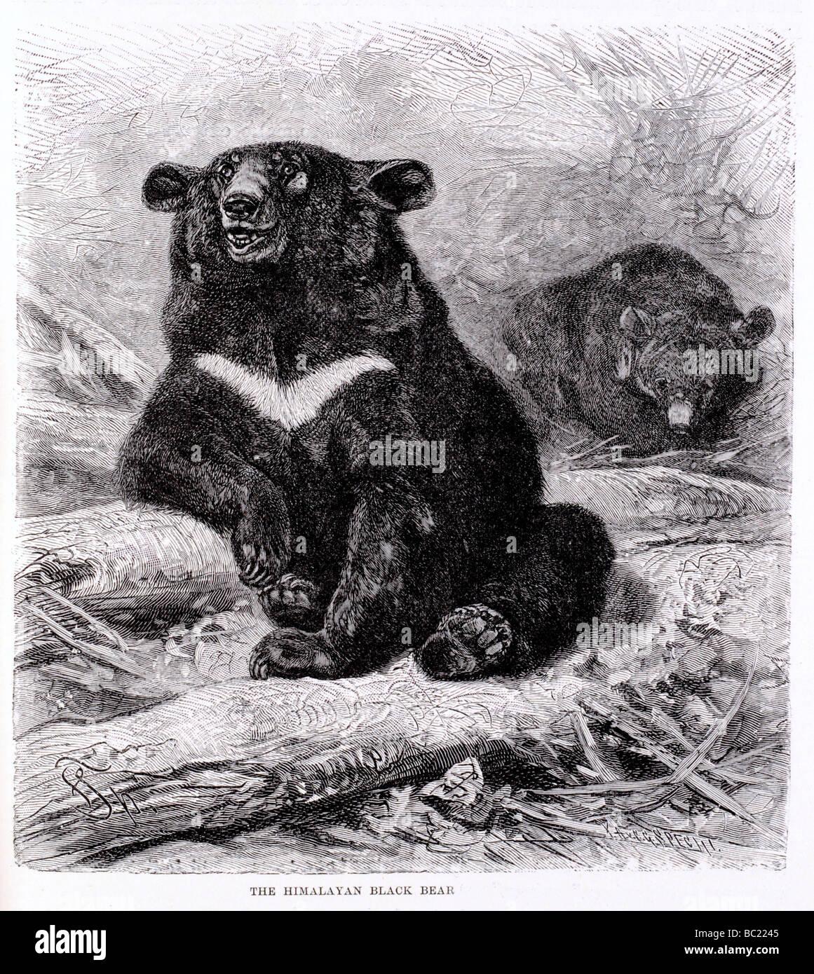 the himalayan black bear - Stock Image