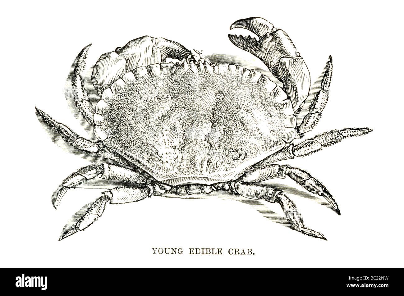 Groß King Crab Anatomy Galerie - Menschliche Anatomie Bilder ...