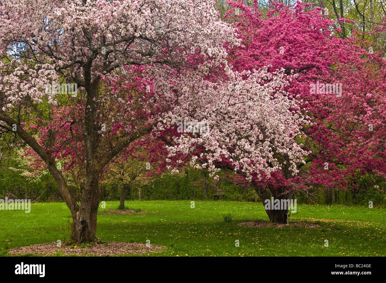 Crabapple Trees in bloom at Royal Botanical Gardens Hamilton Ontario - Stock Image