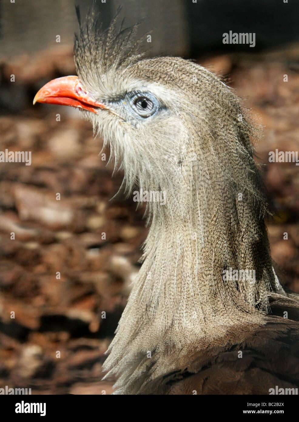Red-legged Seriema or Crested Cariama, Cariama cristata, Cariamidae. South American Bird. - Stock Image