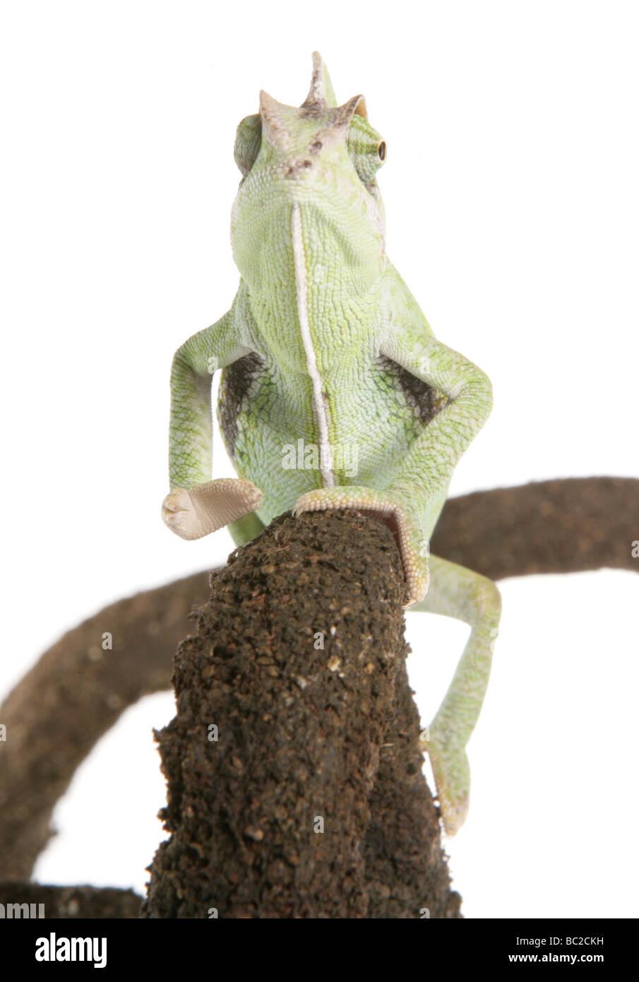 Yemen Chameleon aka veiled chameleon Chamaeleo calyptratus portrait in a studio - Stock Image