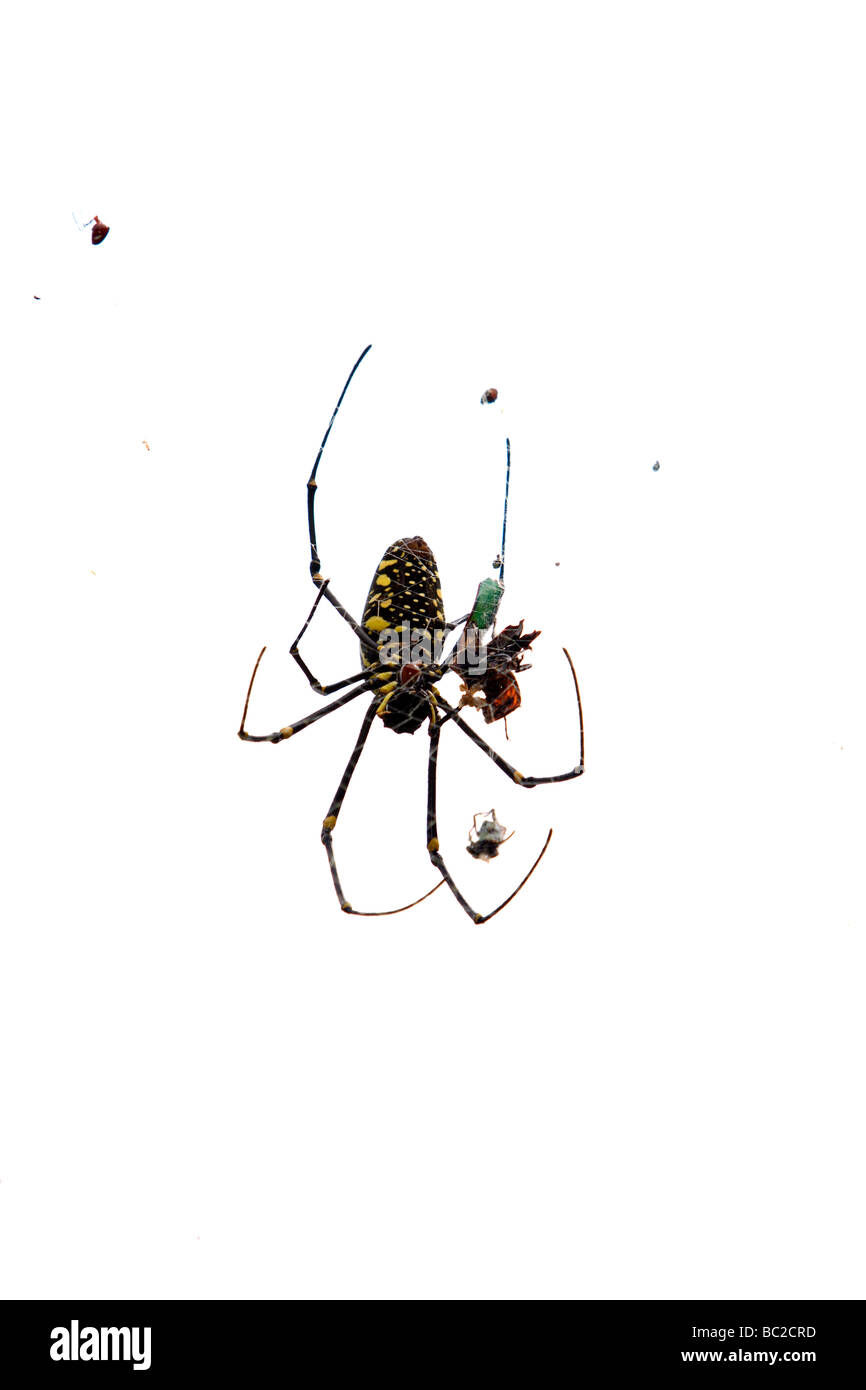 Giant wood spider or giant golden orb weaver (Nephila pilipes, formally N. maculata) on webs with prey, Chinan National - Stock Image