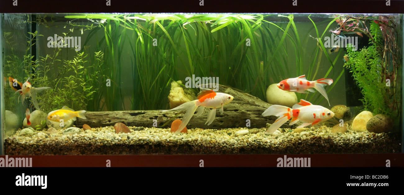 Goldfish Variety Stock Photos & Goldfish Variety Stock Images - Alamy