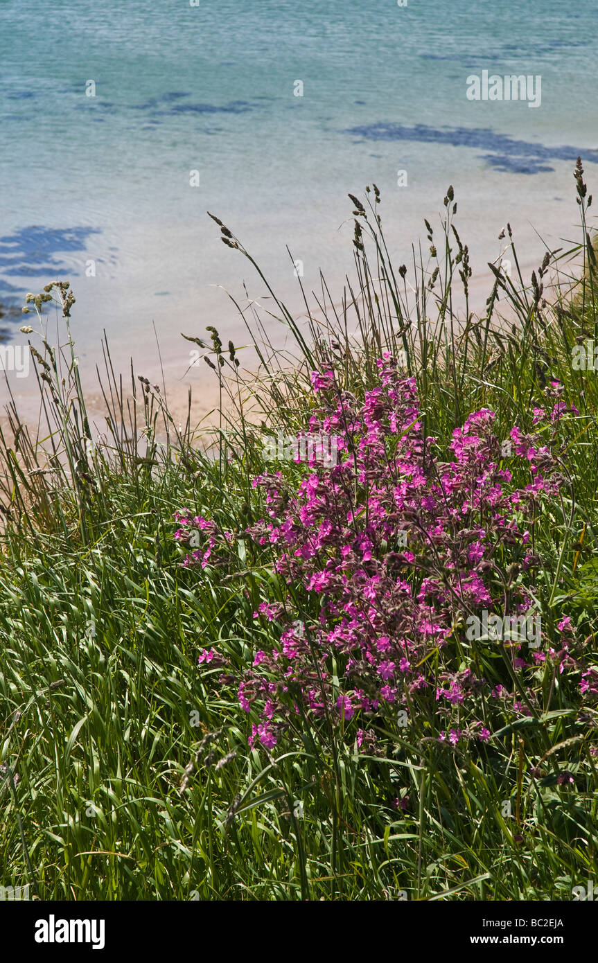 dh Red campion PINKS UK Silene dioica on cliff edge Orkney flora Stock Photo
