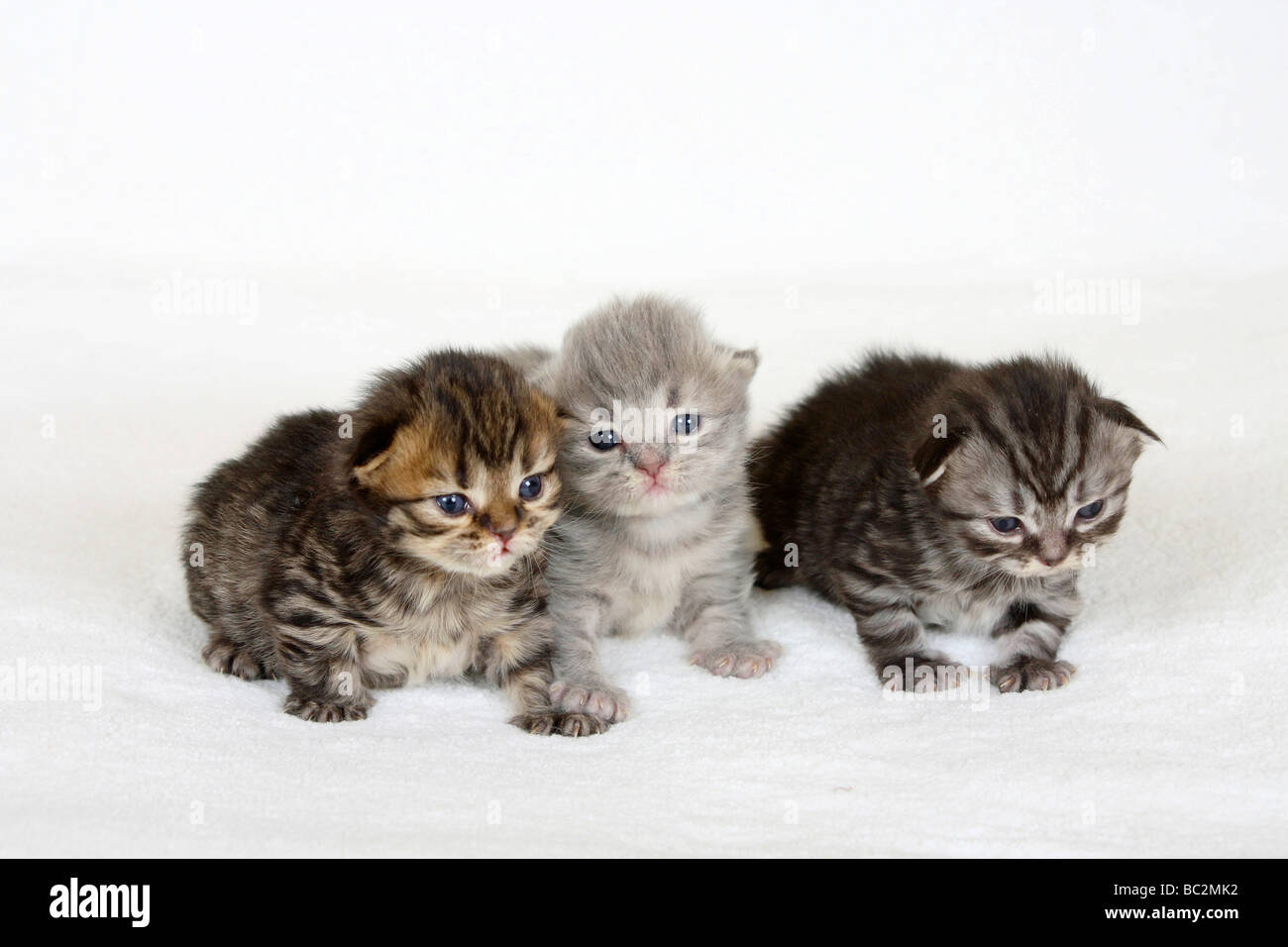 British Longhair Cat, kittens, 2 weeks, black-golden-tabby, blue-silver-tabby and black-silver-tabby / Highlander, - Stock Image