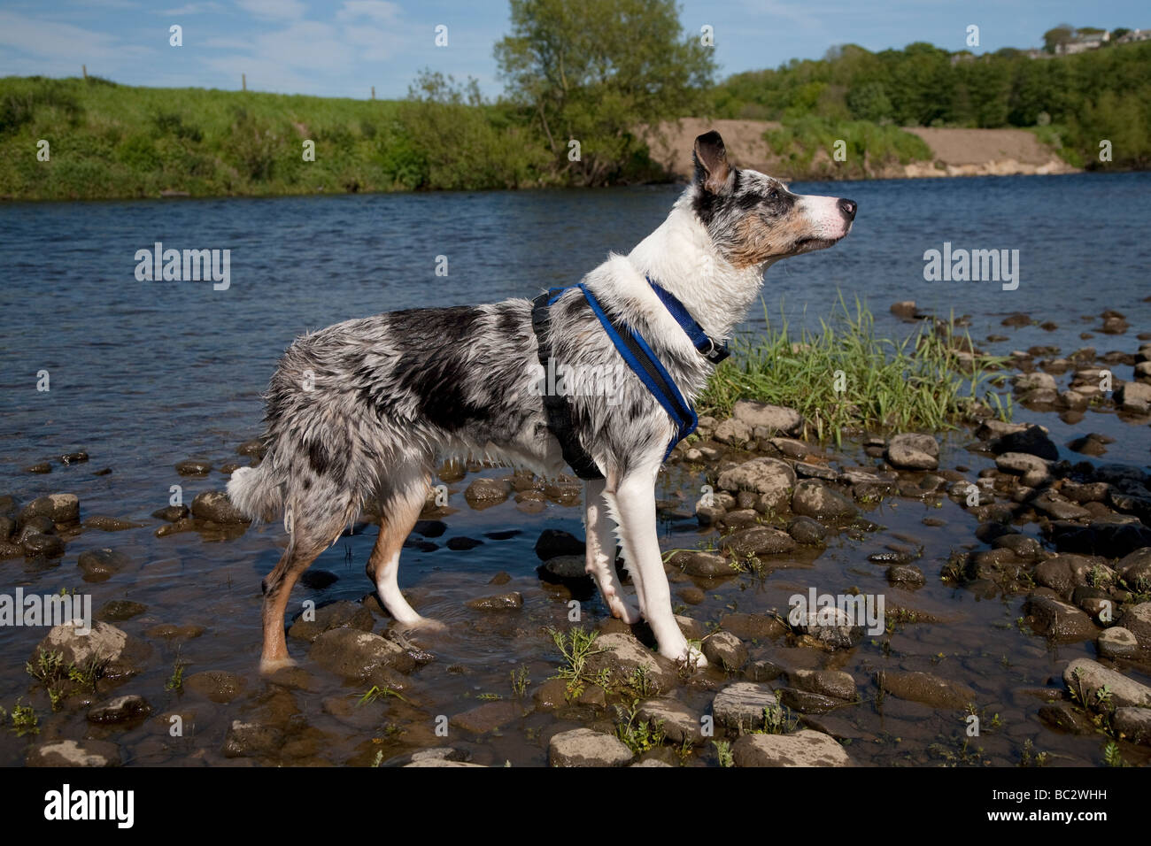 Blue merle border collie dog wearing a blue harness stood in a rocky river on a sunny summer day - Stock Image