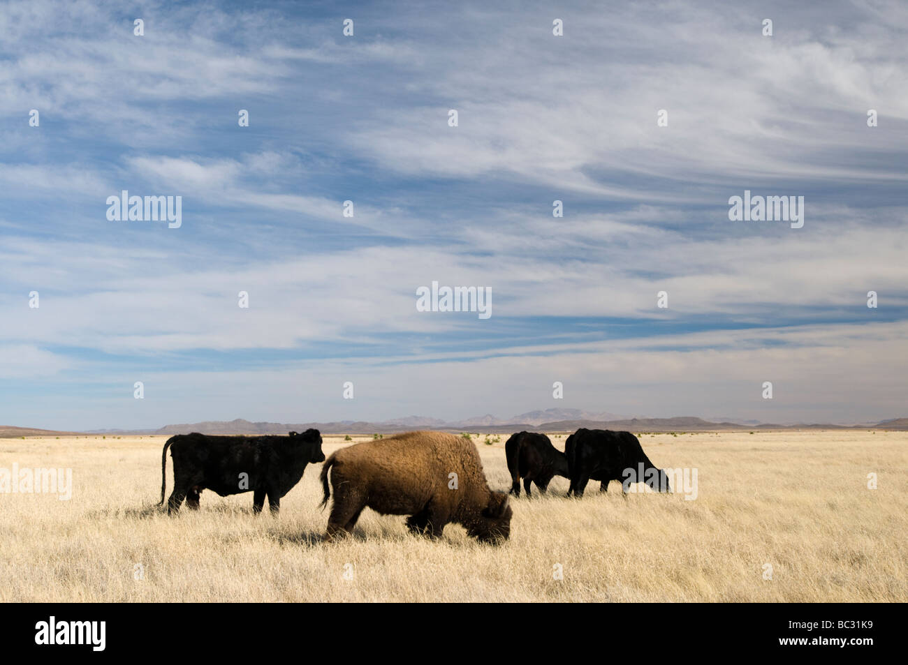A feral bison mixes with cattle on the US/Mexico border, Chihuahua. - Stock Image
