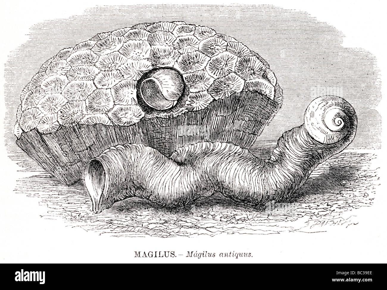 magilus magilus antiquus - Stock Image