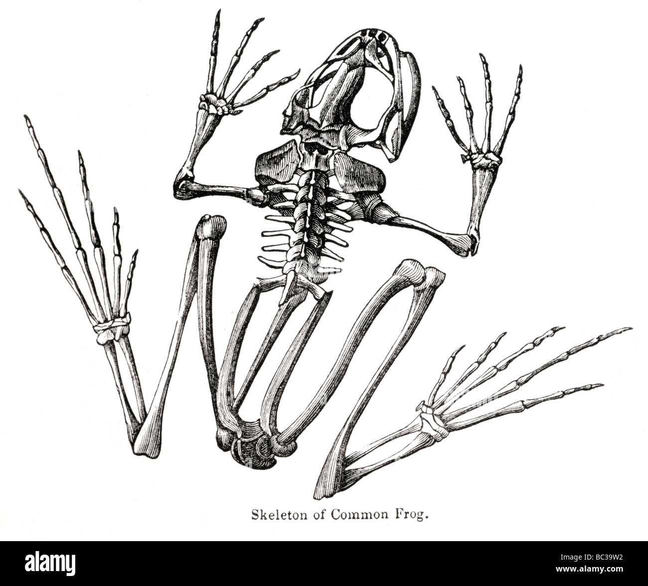 Frog Skeleton Stock Photos & Frog Skeleton Stock Images - Alamy