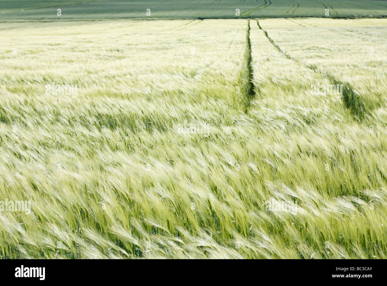 Remote oat field - Stock Image