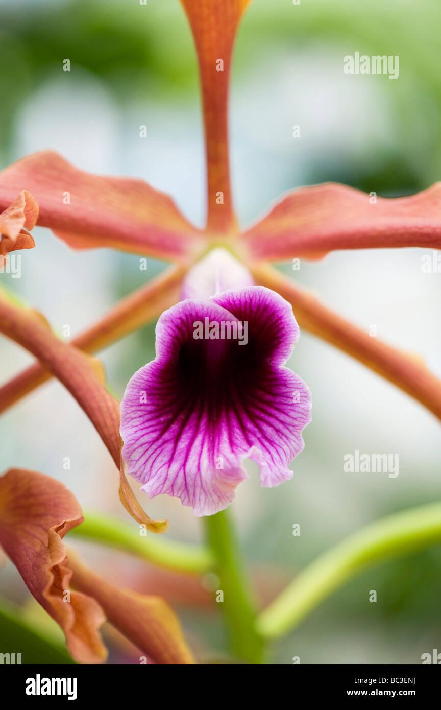Laelia grandis var. tenebrosa gower. Orchid flower native to Brazil - Stock Image
