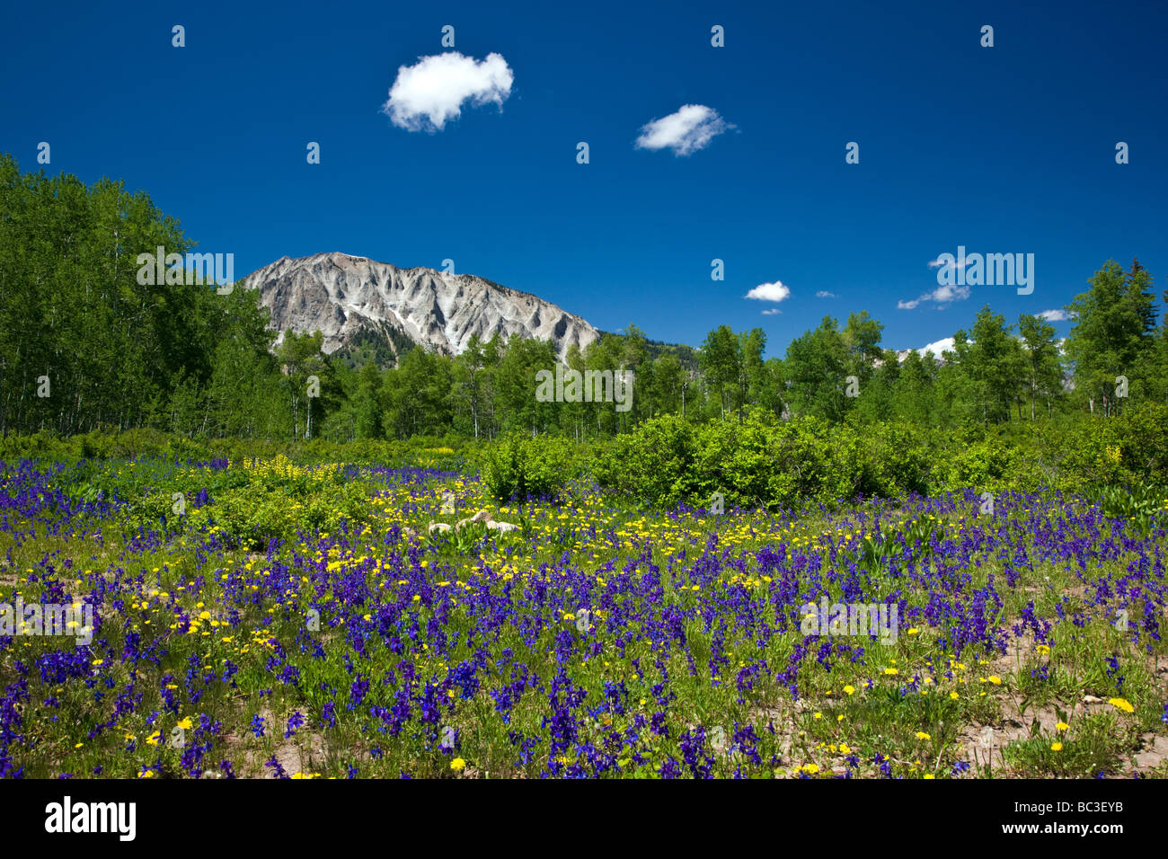 Lupin Golden Banner Larkspur near Kebler Pass Colorado USA Ruby Peak 12 644 is in the distance - Stock Image