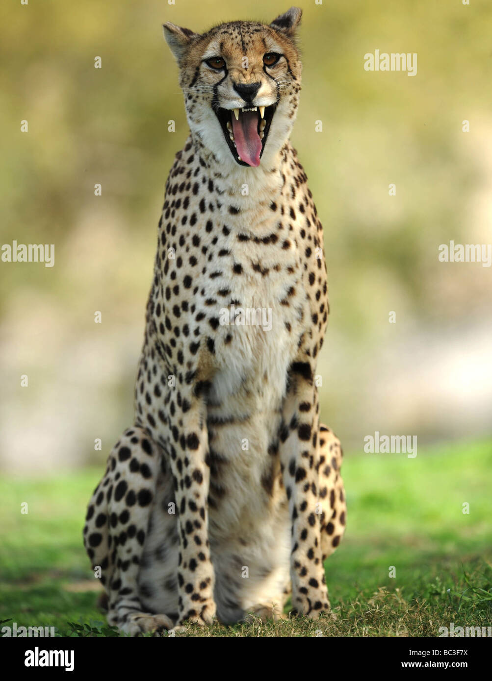 african cheetah snarling at camera, full frame close up, big cat - Stock Image