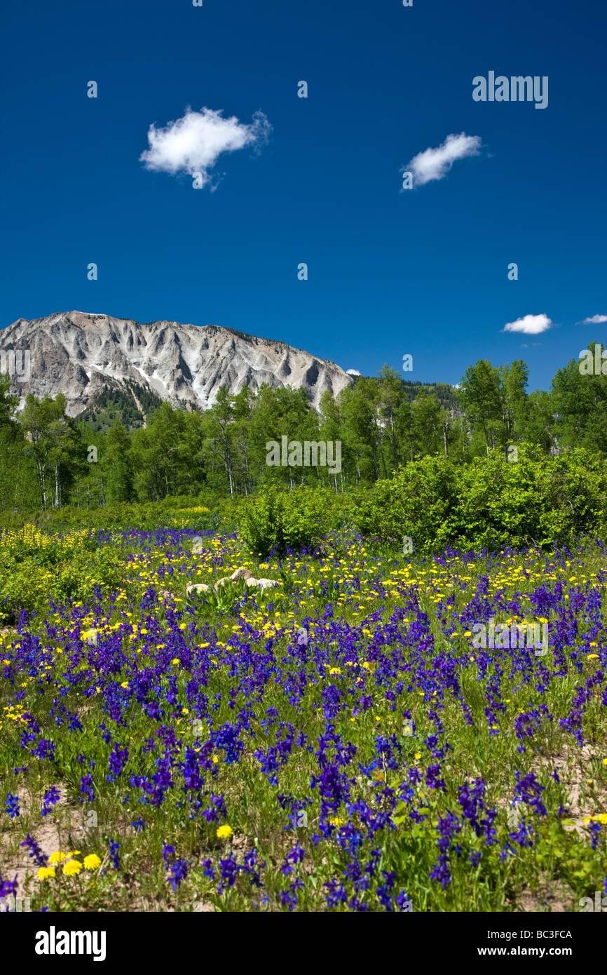 Purple Lupin Golden Banner Spring Larkspur near Kebler Pass Colorado USA - Stock Image