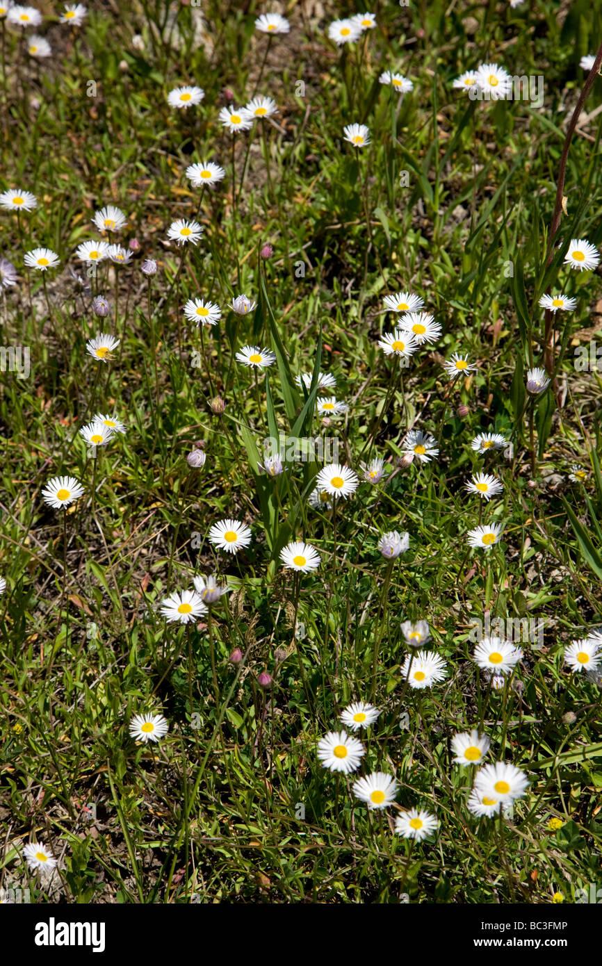 Erigeron divergens Daisy Asteraceae Sunflower Family grow near Kebler Pass Raggeds Wilderness Colorado USA - Stock Image