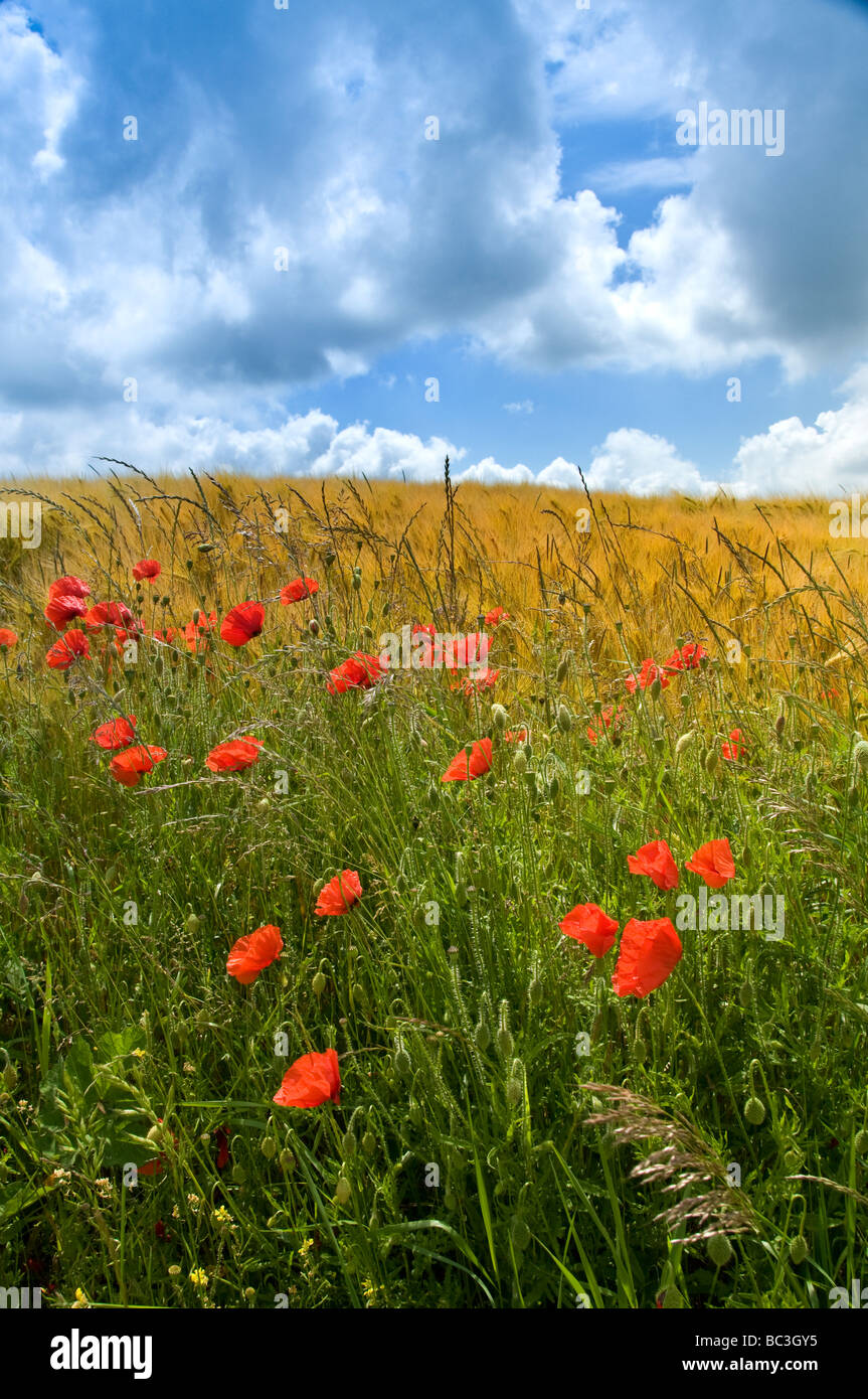 SOMME VALLEY Field of poppies and barley Somme Valley  Nord-Picardy  France Stock Photo
