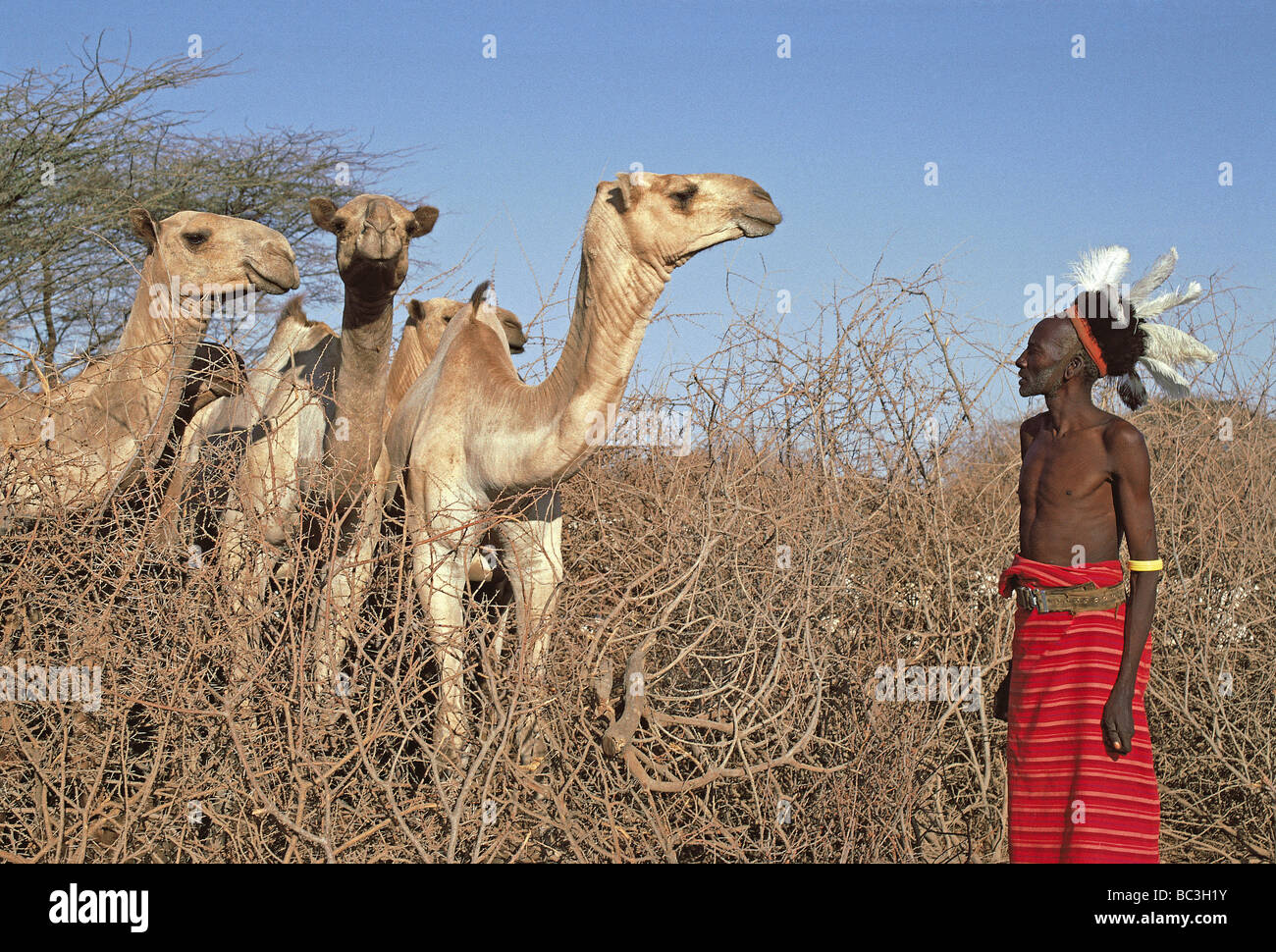 Samburu elder man with headdress of ostrich feathers inspecting his camels early morning northern Kenya East Africa - Stock Image