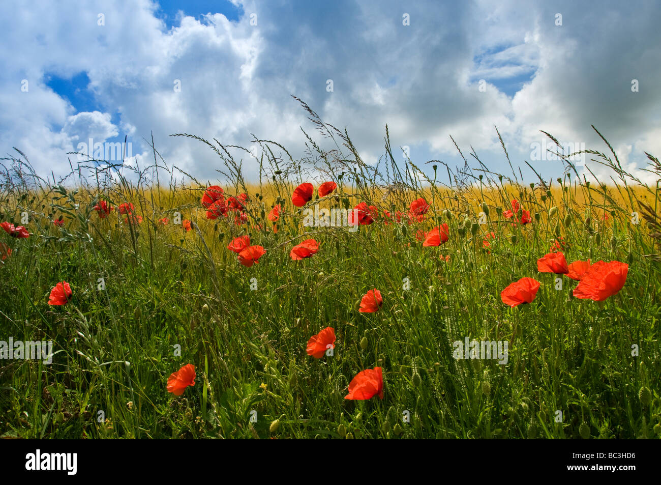 Field of poppies and barley Somme Valley  Nord-Picardy  France Stock Photo