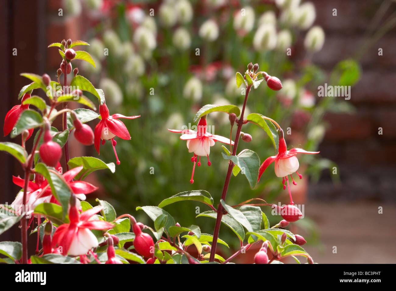 fuchia,Nellie Nuttall,pendulous flowers, Stock Photo