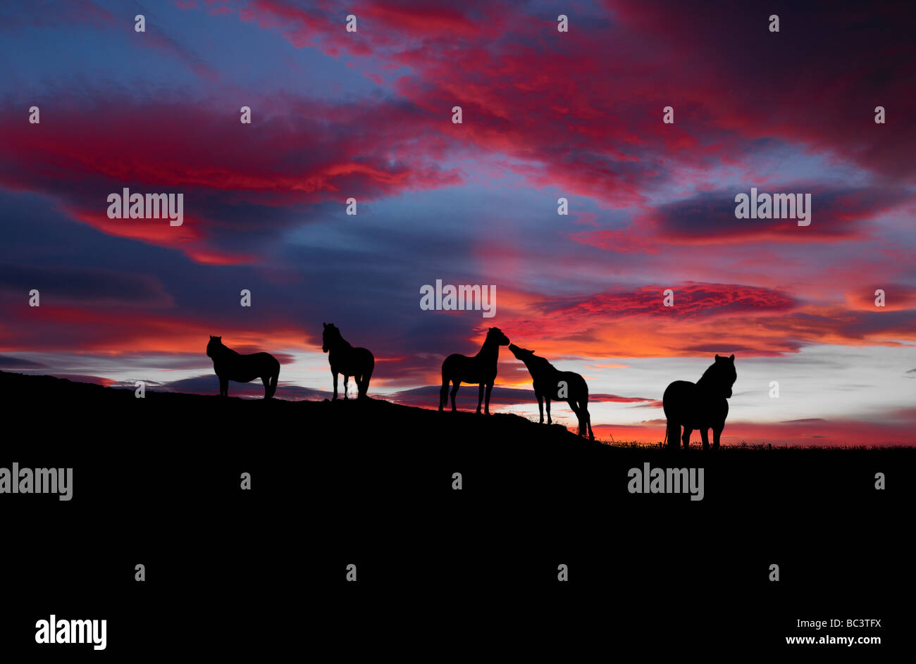 Silhouette of Icelandic horses at sunset, Iceland - Stock Image