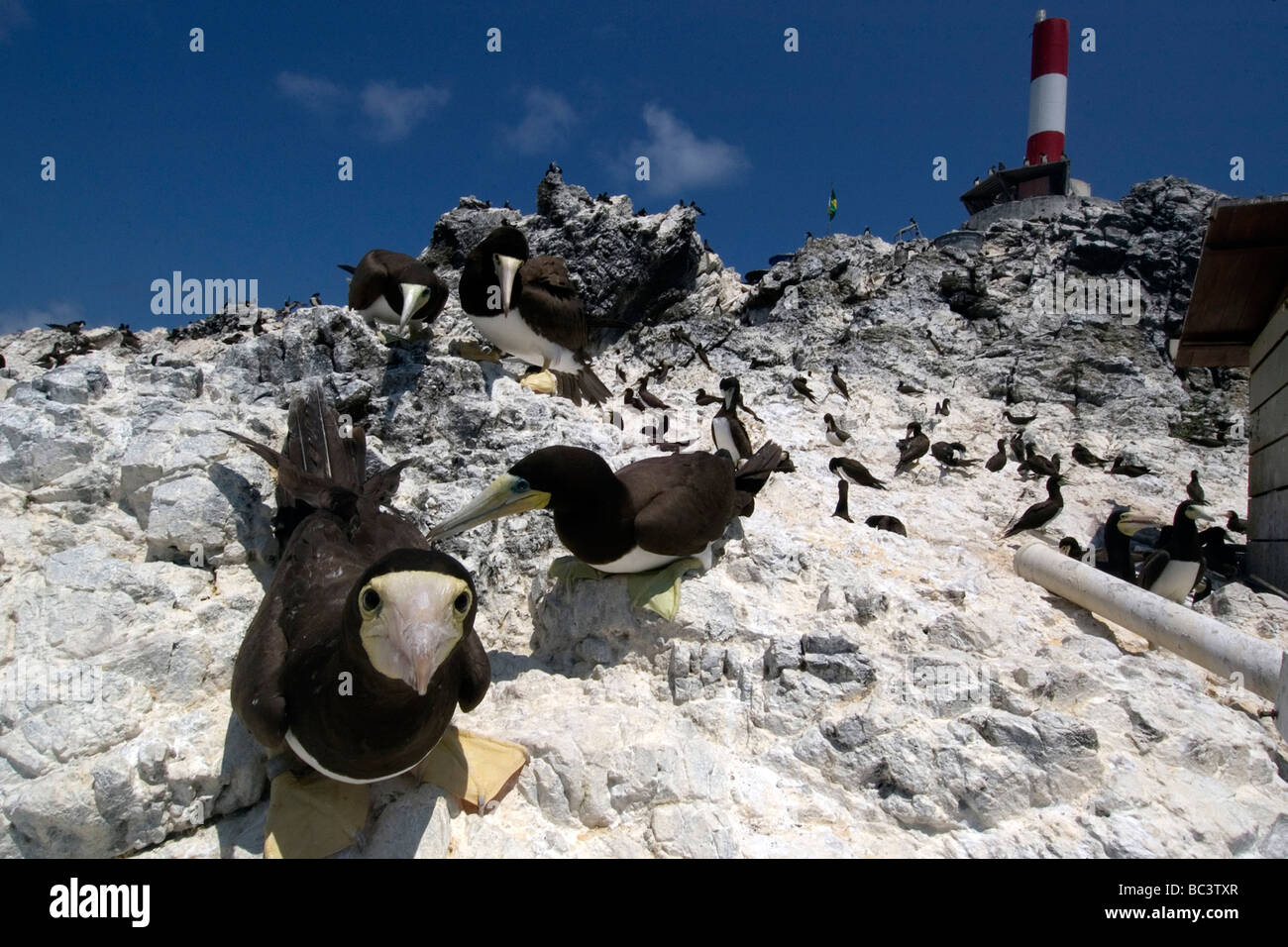 Brown Booby, Sula leucogaster  - protecting its nest from danger at a rookery - Stock Image