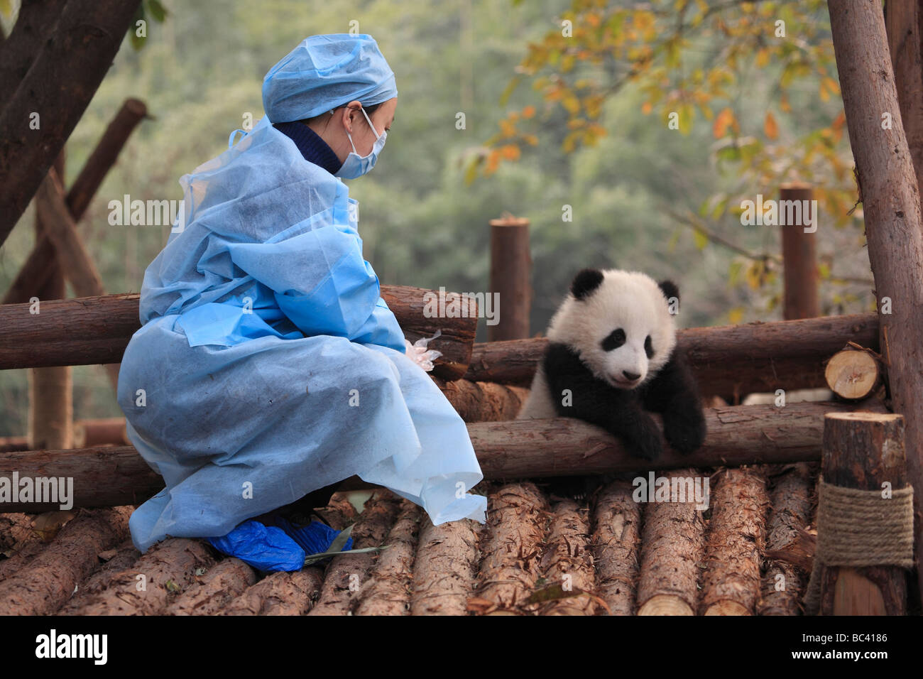 Giant panda baby with keeper at the Chengdu panda center, Sichuan province, China - Stock Image