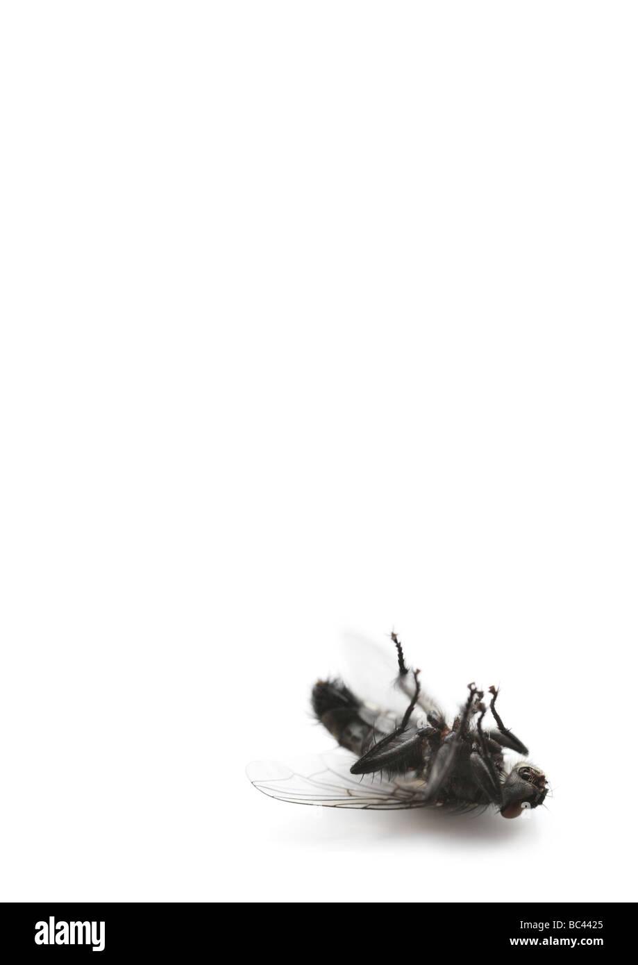 dead housefly - Stock Image