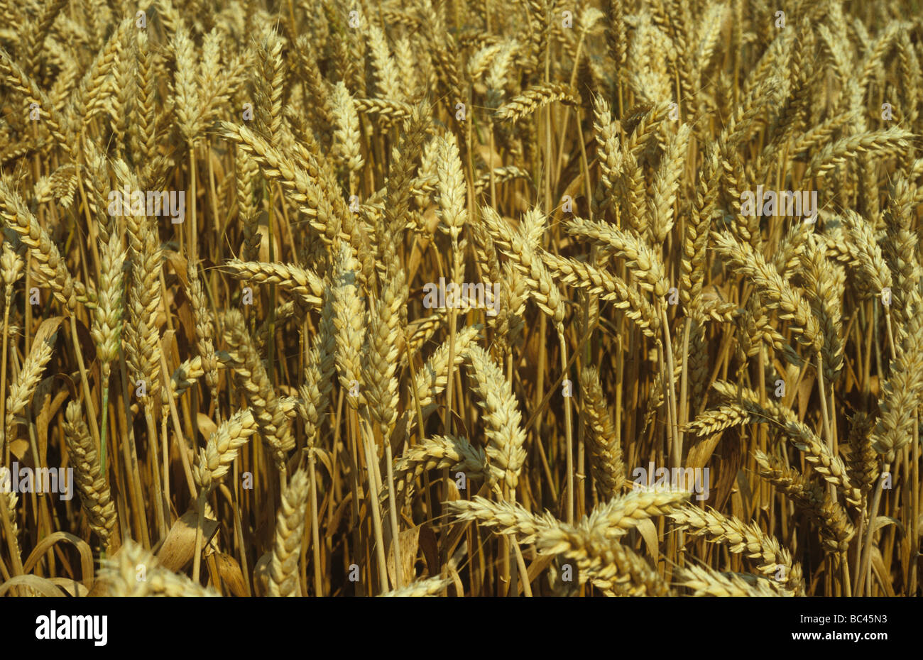 A ripe crop of winter wheat - Stock Image