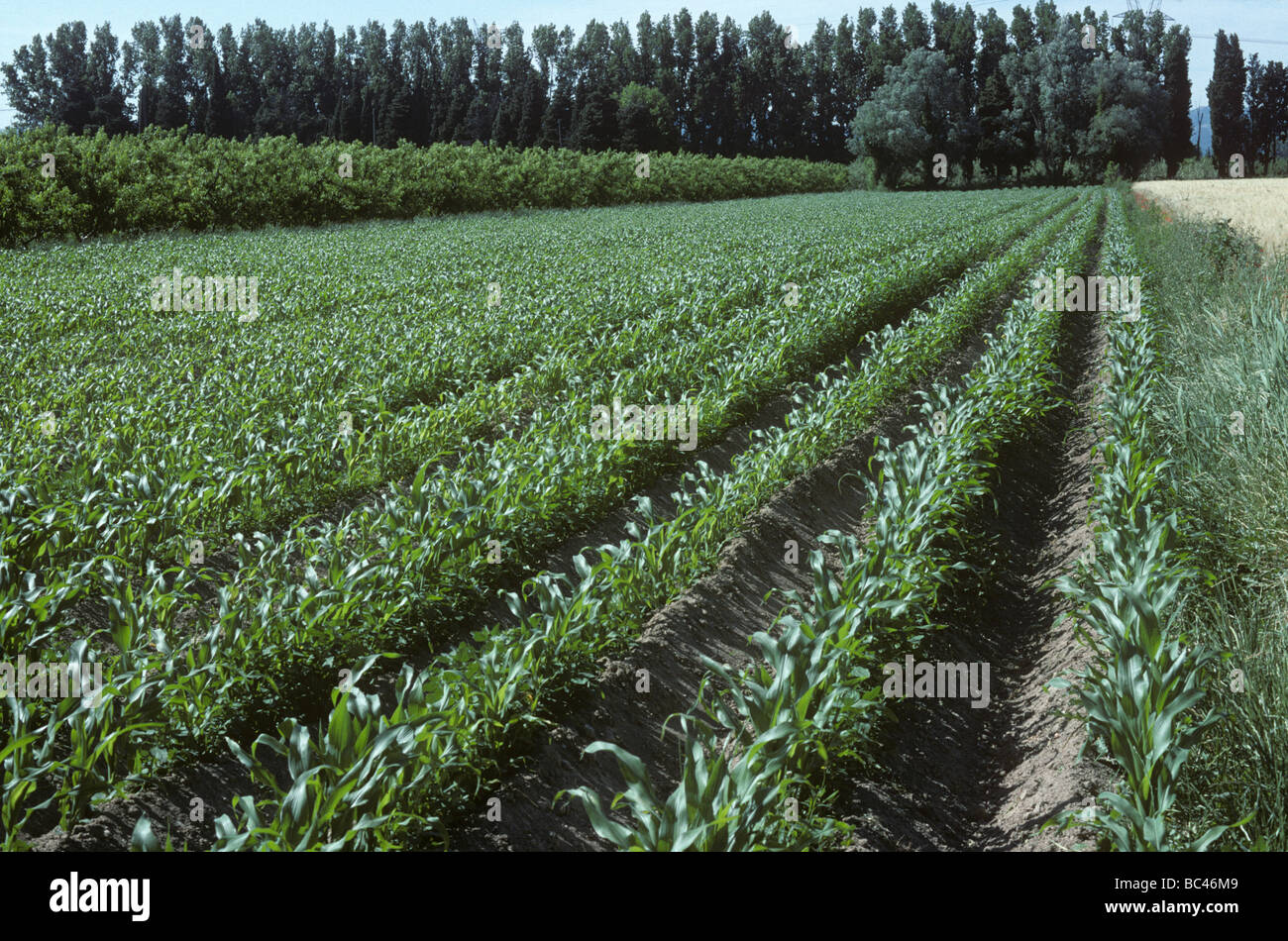 Young maize crop in strip plot in Provence France - Stock Image