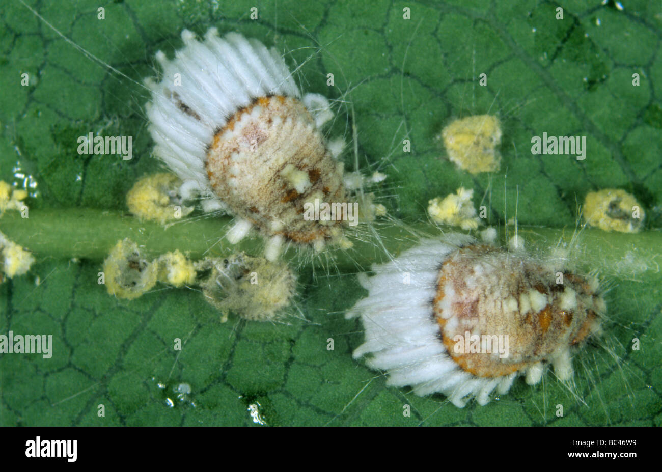 Cottony cushion scale Icerya purchasi adults immature some with entomopathogenic fungus - Stock Image