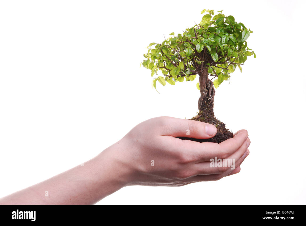 Hand holding a Bonsai tree isolated on a white background - Stock Image