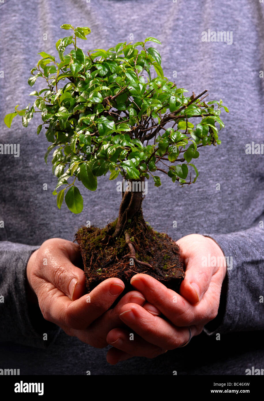 Hands holding a Bonsai tree high resolution image - Stock Image