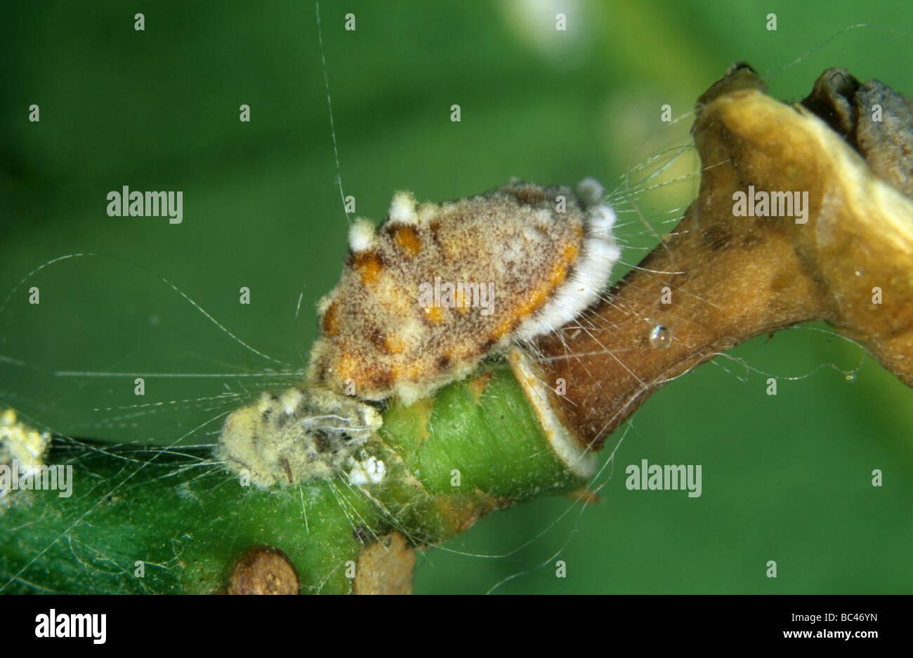 Cottony cushion scale Icerya purchasi adult infected with an entomopathogenic fungus - Stock Image