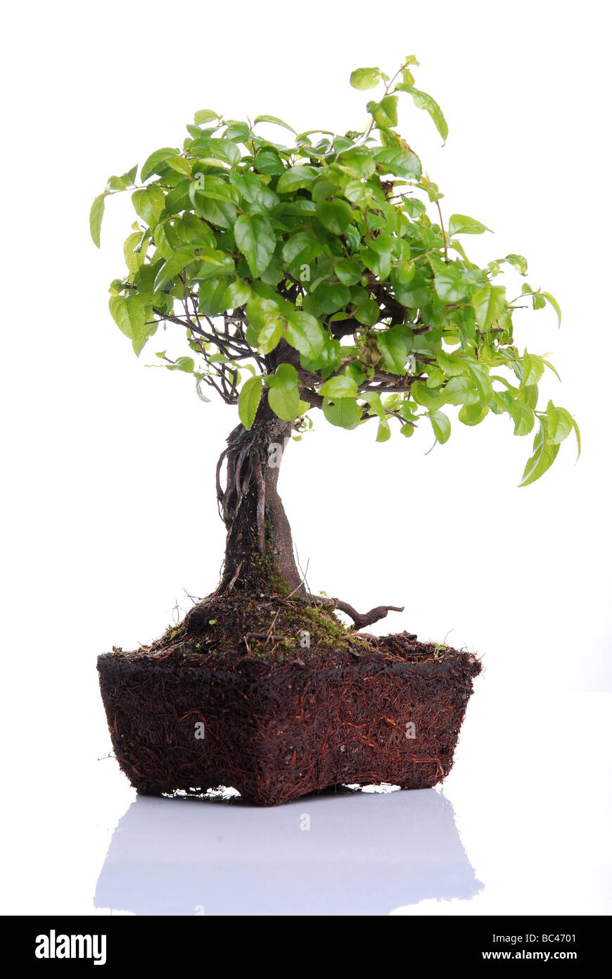 Bonsai tree isolated on a white background - Stock Image