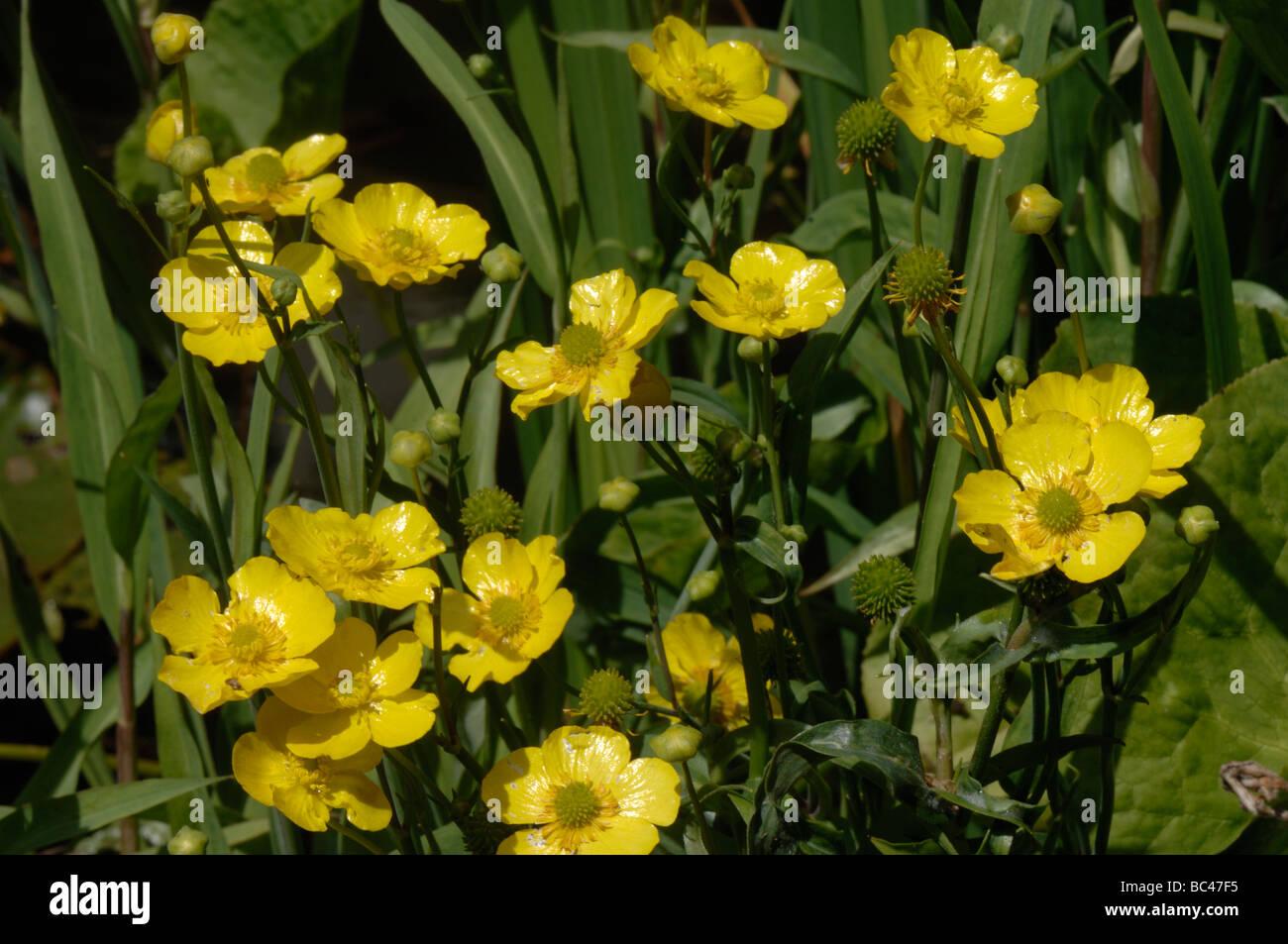 Greater spearwort Ranunculus lingua Grandiflora flowering in a garden pond - Stock Image
